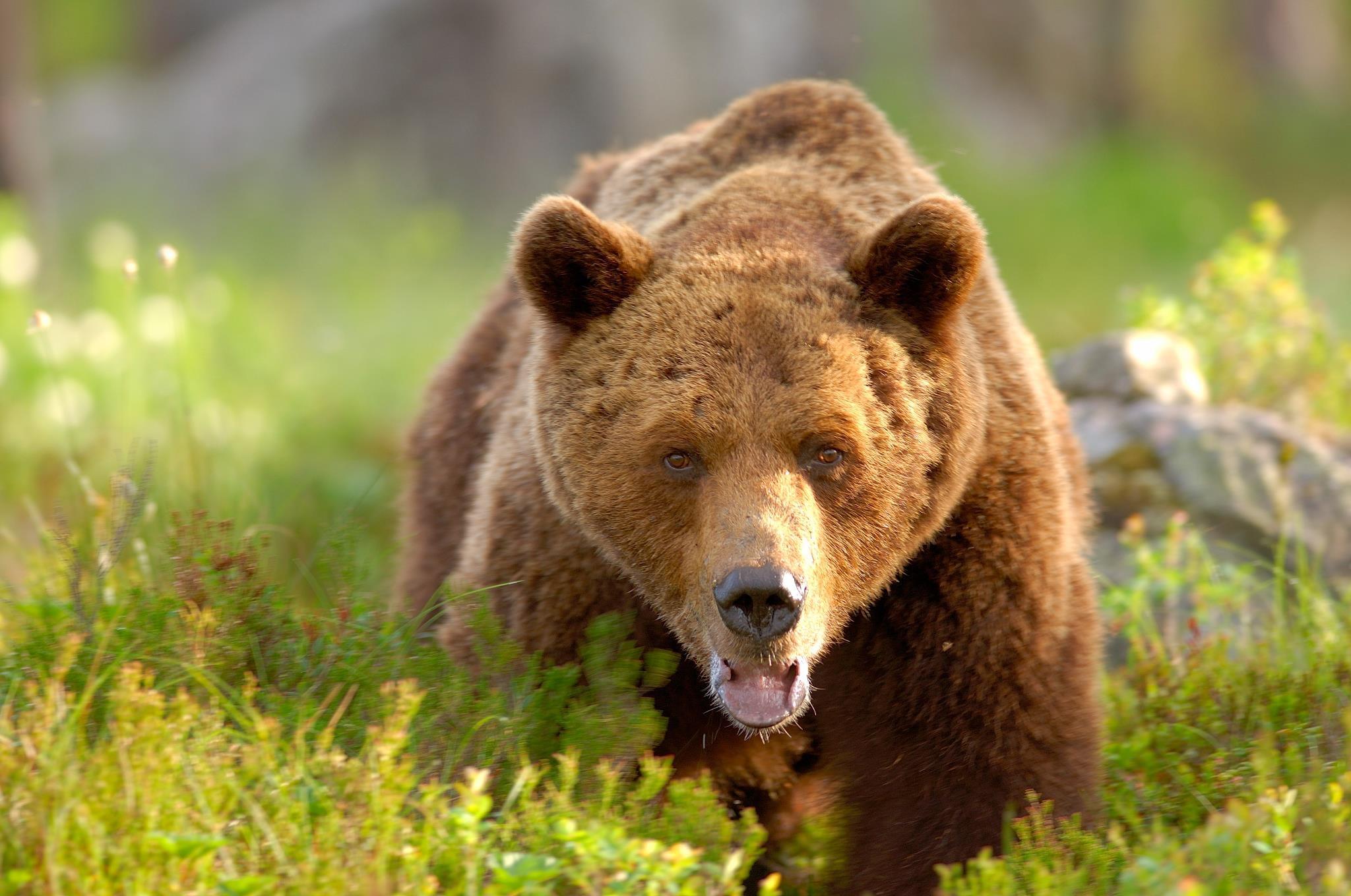 Björnsafari i  Edsbyn Hälsingland
