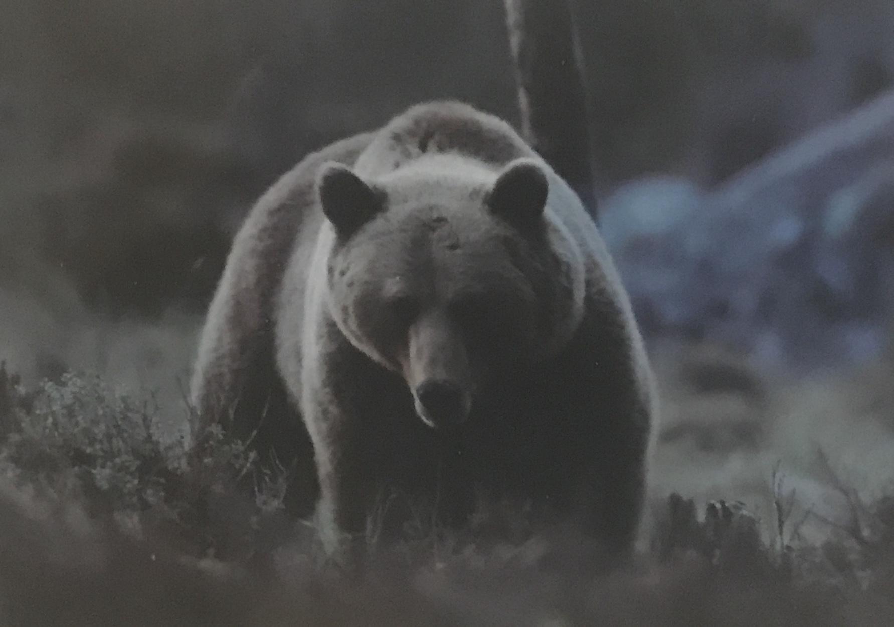 Björnsafari i  Edsbyn