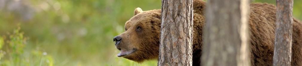 björnskådning