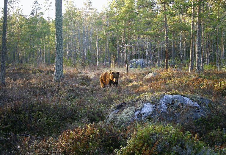 Björnar i Hälsingland
