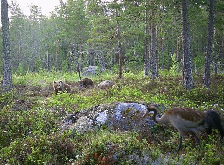 Björnskådning-örnskådning-och-vildmark