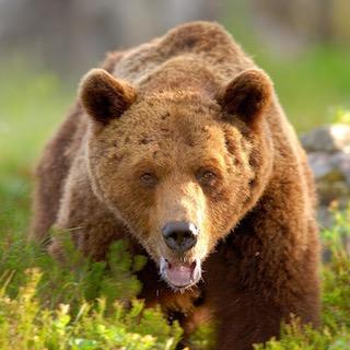Björnsafari