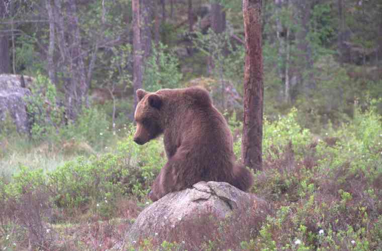 Björnarna